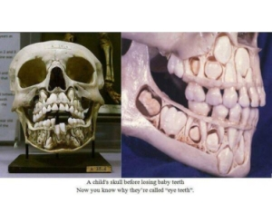 молочные зубы строение
