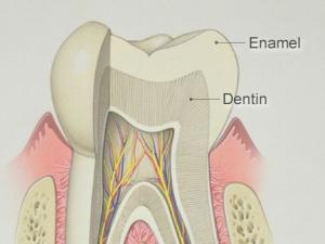 структура зуба